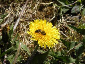BeeOnDandelion1-4-2010