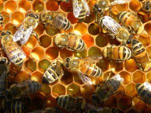 bees-pollen in comb