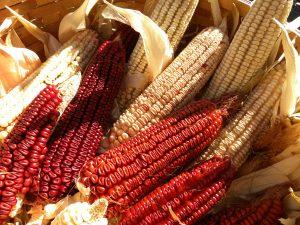 Hop McConnell Speckled Corn Harvested
