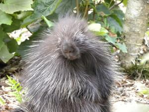 porcupine-closeup_SM